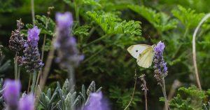 Cabbage moth in decoy crop
